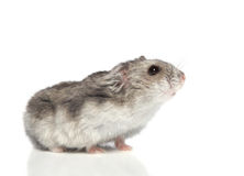 Asian hamster Royalty Free Stock Image