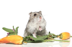 Asian hamster on a white background Royalty Free Stock Images
