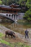 Asian handler training a bull farm, southwest China. Royalty Free Stock Image