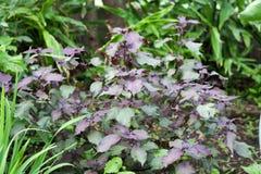 Asian herb called Perilla frutescens Stock Photo