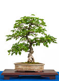 Asian hornbeam as bonsai tree Royalty Free Stock Photos