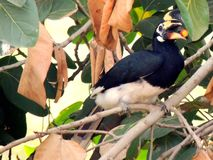 Asian Hornbill Black and White Royalty Free Stock Photo