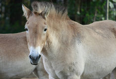 Asian horse. Outdoor portrait of a Przewalski horse (Equus przewalski poliakov). This rare breed also known as Asian or Mongolian horse is the last remaining Royalty Free Stock Photography