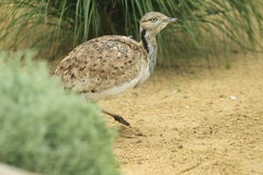 Asian houbara bustard Royalty Free Stock Images
