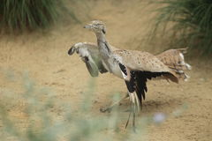 Asian houbara bustard Stock Photo