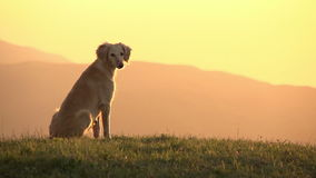 Asian Hound stock footage