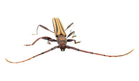 Asian insect Royalty Free Stock Photography