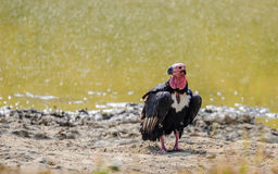 Asian King Vulture (Sarcogyps calvus). Asian King Vulture or Red Headed Vulture or Black vulture at Bandhavgarh National Park, India royalty free stock image