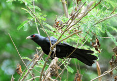 Asian koel stock photos