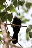 Asian koel royalty free stock photo