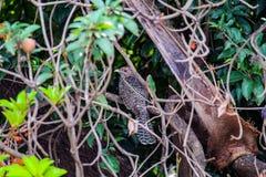 Asian Koel stock photos