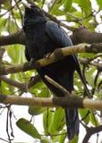 Asian koel bird Royalty Free Stock Photography