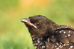 Asian koel Royalty Free Stock Images
