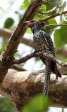 Asian koel female royalty free stock images