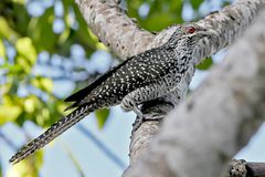 Asian koel female on the tree Royalty Free Stock Images