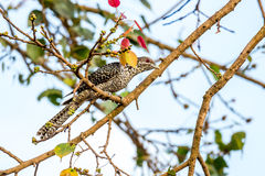 Asian koel on a ficus tree Royalty Free Stock Image