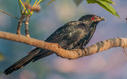 Asian Koel, Male, perched on a tree branch, morning light, red e Royalty Free Stock Photo