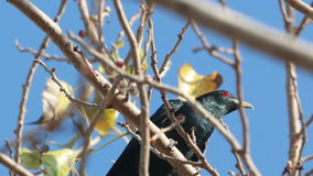 Asian Koel Male on tree stock video footage
