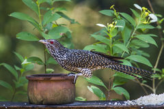 Asian koel in Minneriya national park, Sri Lanka Royalty Free Stock Photography