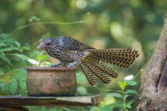 Asian koel in Minneriya national park, Sri Lanka Stock Photos