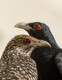 Asian Koel Pair. Asian Koel bird pair of female and male both birds sitting and looking Stock Images