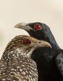 Asian Koel Pair Stock Images