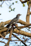 Asian koel perching on a tree Stock Image