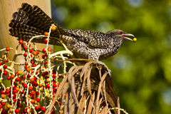 Asian koel. On the tree foraging Stock Photography
