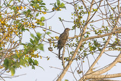 Asian Koel in a Tree Stock Photography