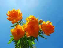 Asian kupalnitsa. The Asian kupalnitsa blossoms in steppe ravines in June Royalty Free Stock Photo
