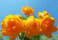 Asian kupalnitsa. The Asian kupalnitsa blossoms in steppe ravines in June Stock Photography