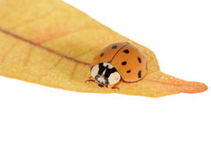 Asian Lady Beetle Royalty Free Stock Image