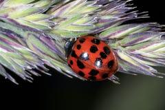 Asian lady beetle, harmonia axyridis Stock Photography