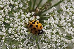 Asian lady beetle - Harmonia axyridis Stock Images