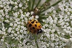 Asian lady beetle - Harmonia axyridis Stock Images