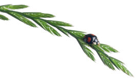 Asian lady beetle, or Japanese ladybug Stock Images