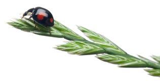Asian lady beetle, or Japanese ladybug Royalty Free Stock Photos