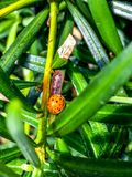 Asian lady beetle Royalty Free Stock Photography