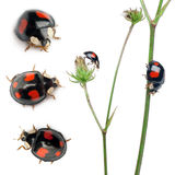 Asian lady beetles, or Japanese ladybug. Or the Harlequin ladybird, Harmonia axyridis, composition on plants in front of white background Royalty Free Stock Image