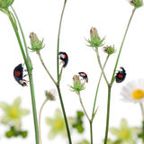 Asian lady beetles, or Japanese ladybug Royalty Free Stock Image
