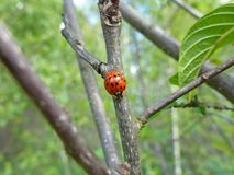 Asian ladybeetle on a branch royalty free stock photo