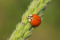 Asian Ladybeetle - Harmonia axyridis. Asian Ladybeetle clinging to a grass seed pod. Also known as a Harlequin Ladybird and Multicolored Asian Beetle. High Park stock images