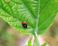 Asian ladybirds, reproduction Royalty Free Stock Photography