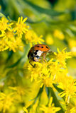 Asian Ladybug Beetle (Harmonia axyridis) Stock Photo