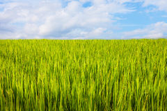 Asian landscape with ricefield Royalty Free Stock Photo