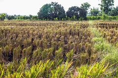 Asian landscape with ricefield. In Chiang Mai , Thailand Stock Photos