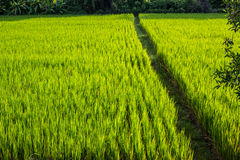 Asian landscape with ricefield Stock Photo