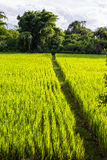 Asian landscape with ricefield Royalty Free Stock Images