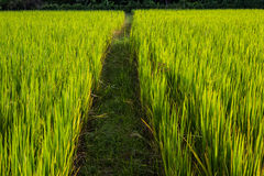 Asian landscape with ricefield Royalty Free Stock Photography