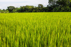 Asian landscape with ricefield Stock Photos